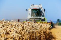 Cornfield met tarwe bij oogst Stock Foto's