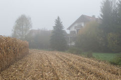 Cornfield mist and rainy day Royalty Free Stock Image