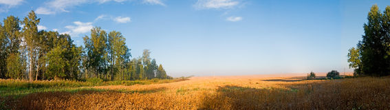 Cornfield in the morning Royalty Free Stock Photos