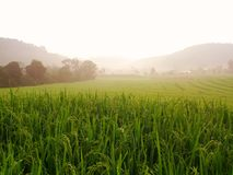 Cornfield in morning at Doi Inthanon stock photos