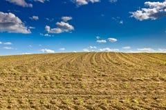 Cornfield - newly sowed corn plants Stock Image