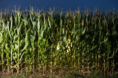 Cornfield night Stock Photography