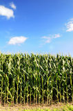 Cornfield Over Blue Sky Stock Photo