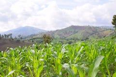 Cornfield, padie in het landschap van het gebiedslandbouwbedrijf (Verwerkt HDR) Royalty-vrije Stock Foto's