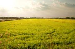 cornfield royalty-vrije stock foto's