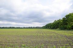 cornfield Petites pousses de maïs, paysage de champ Ciel nuageux et tiges de maïs sur le champ photos stock