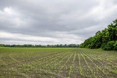 cornfield Petites pousses de maïs, paysage de champ Ciel nuageux et tiges de maïs sur le champ photographie stock libre de droits
