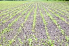 cornfield Petites pousses de maïs, paysage de champ Sol et tiges lâches de maïs sur le champ image libre de droits