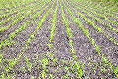 cornfield Petites pousses de maïs, paysage de champ Sol et tiges lâches de maïs sur le champ photographie stock