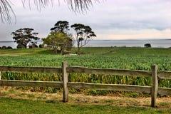 Cornfield, Phillip Island Royalty Free Stock Image