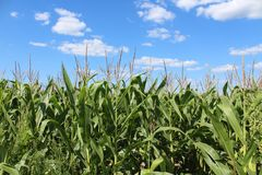 Cornfield Royalty Free Stock Photo