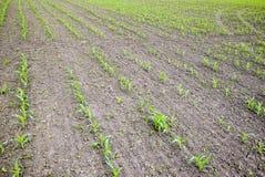 cornfield Piccoli germogli del cereale, paesaggio del campo Allenti il suolo ed i gambi di cereale sul campo Immagine Stock