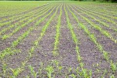 cornfield Piccoli germogli del cereale, paesaggio del campo Allenti il suolo ed i gambi di cereale sul campo Fotografie Stock Libere da Diritti