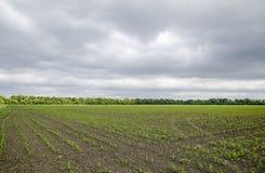 cornfield Piccoli germogli del cereale, paesaggio del campo Cielo nuvoloso e gambi di cereale sul campo Fotografia Stock Libera da Diritti