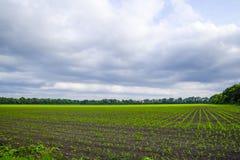 cornfield Piccoli germogli del cereale, paesaggio del campo Cielo nuvoloso e gambi di cereale sul campo Immagine Stock Libera da Diritti