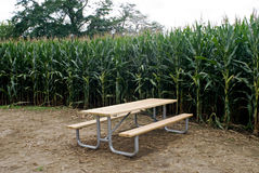 Cornfield with Picnic Table. Rural setting of a cornfield with a picnic table in clearing by corn maze trail Stock Images