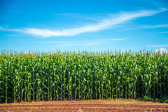 Cornfield plantation plant. Crop field royalty free stock photography