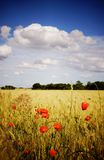 Cornfield with poppies Stock Images