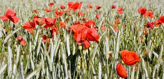 Cornfield and Poppies Stock Photography