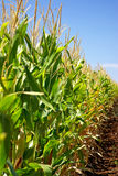 Cornfield at Portugal. Stock Photos