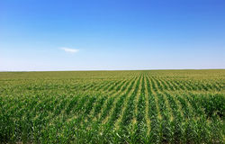 Cornfield at Portugal. Stock Photo
