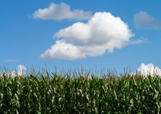 Cornfield and puffy clouds background Stock Photos