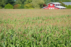 Cornfield Red Barn Royalty Free Stock Images