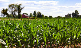 Cornfield with a red barn stock photography
