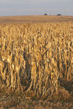 Cornfield redy for harvest at sunrise Royalty Free Stock Photos