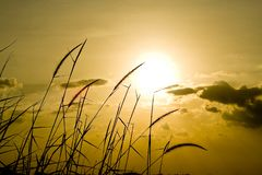 cornfield fotografia stock libera da diritti