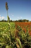 cornfield södra östliga queensland Royaltyfria Bilder