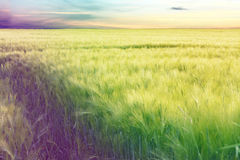 Cornfield. On a sad day with lensflares stock photo
