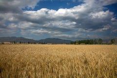Cornfield scenery Stock Images
