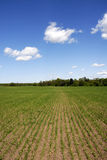 Cornfield Seedlings. Field with corn seedlings in spring - deep blue sky with wispy white clouds Royalty Free Stock Photo