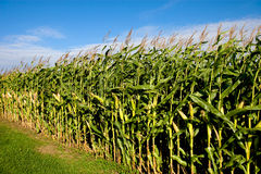 Cornfield and sky Stock Photography