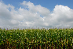 Cornfield and sky Royalty Free Stock Photography