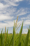 Cornfield on sky blue sky Stock Image