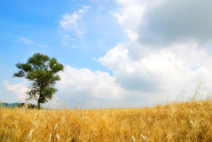 Cornfield in spring. Under the blue sky Royalty Free Stock Images