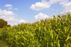 Cornfield in summer 2 Stock Image