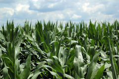 Cornfield In Summer. Corn field on a bright sunny day Royalty Free Stock Photos
