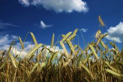 Cornfield. In summer, blue sky Royalty Free Stock Images