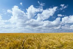 Cornfield in summer Royalty Free Stock Photo