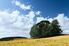 Cornfield in summer Royalty Free Stock Image