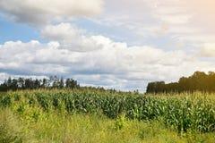 Cornfield in Summer Blue Sky Latvia Europe Zemgale. Cornfield in Summer Blue Sky with Clouds Latvia Europe Zemgale royalty free stock images