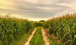 Cornfield in the summer landscape with road Stock Photography