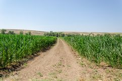 Cornfield in the summer. Plant growth. Farming scene. royalty free stock image
