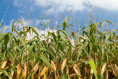 Cornfield with summer sky Stock Image