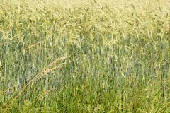 Cornfield in the summertime Royalty Free Stock Images
