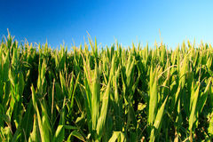 Cornfield. With sun and blue sky Stock Image