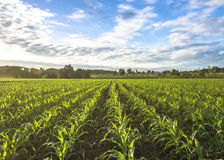 Cornfield sun and blue sky in the morning Royalty Free Stock Images